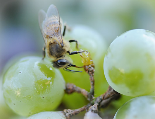 Close up of honeybee sucking from wine grape.