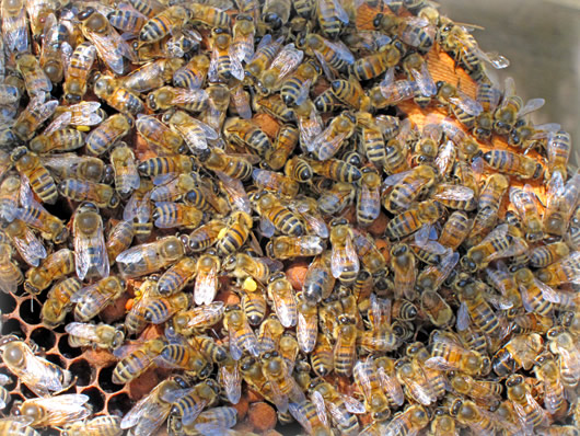 Close up of bees swarming
