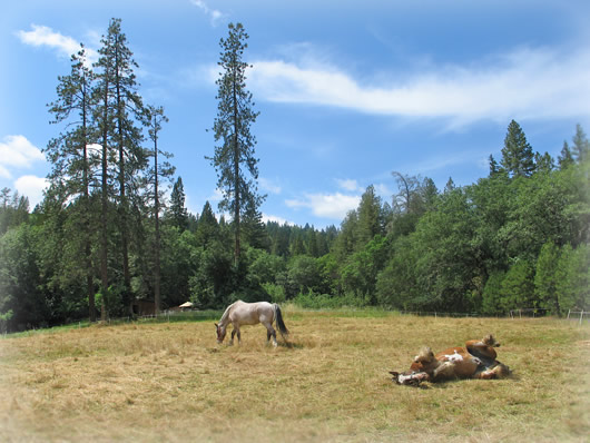 Draft horses in the field.
