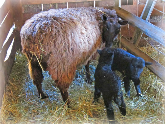 Mother sheep with twin lambs