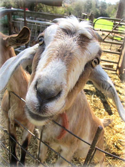 Goat, up close