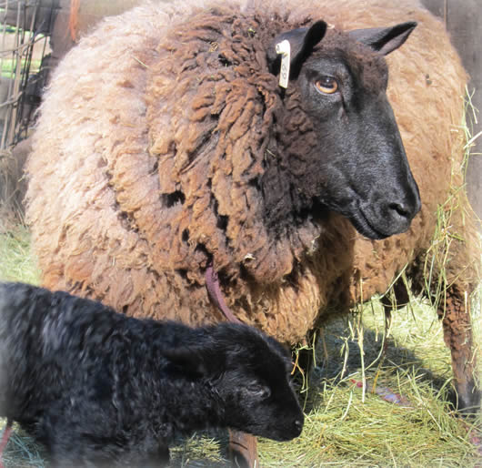 Mother sheep and baby lamb