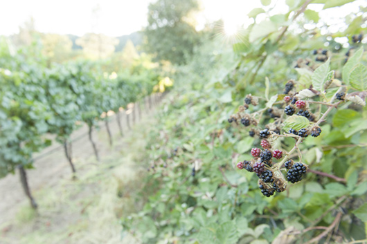 Hedgerow of blackberries in Frey Vineyards