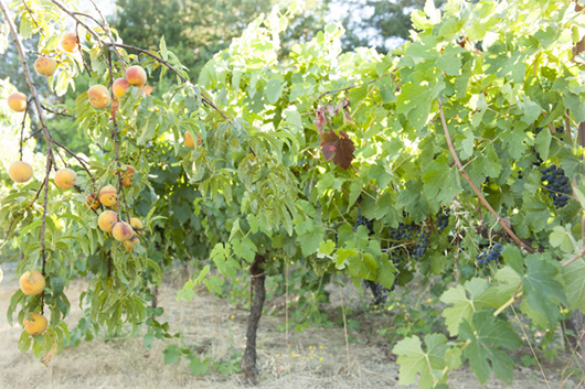 Peaches by organic vineyard