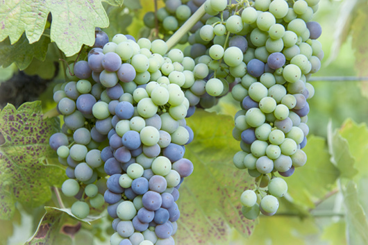 Ripening organic grapes