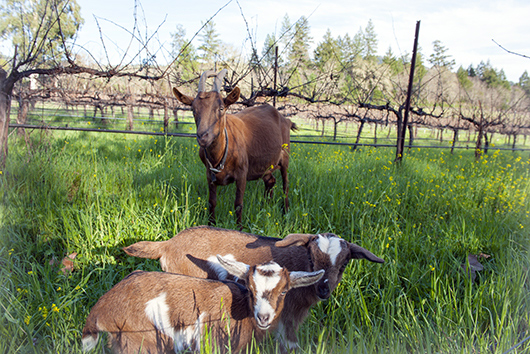 Goats in the vineyard.