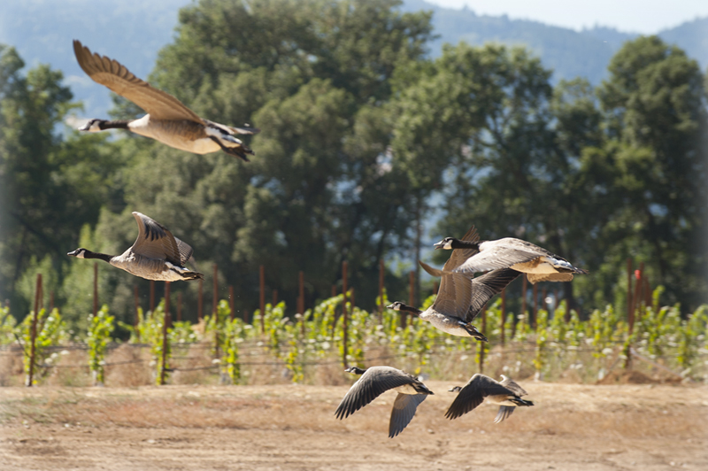 Canada geese flying by Frey Vineyards