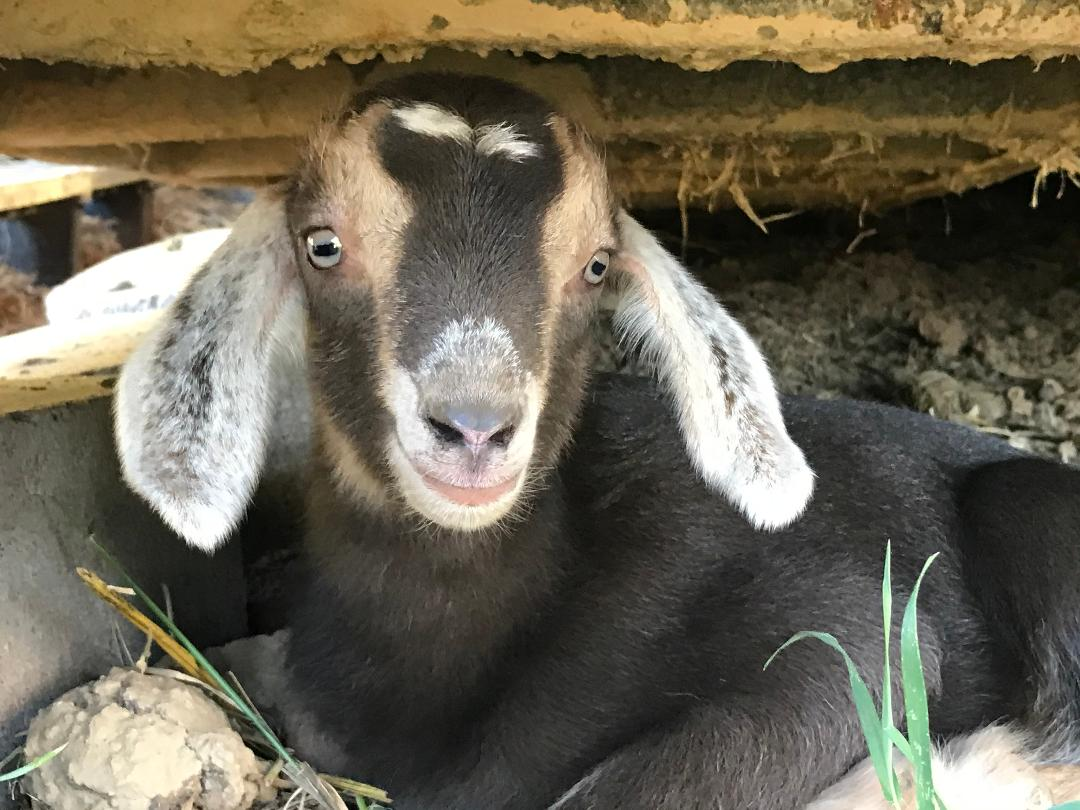 Healthy and vibrant baby goat