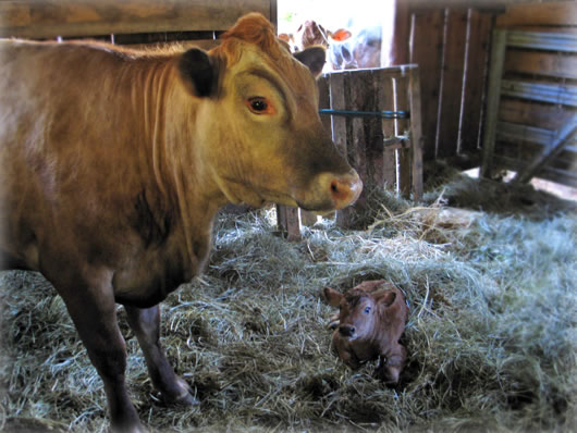Mother cow and her newborn.
