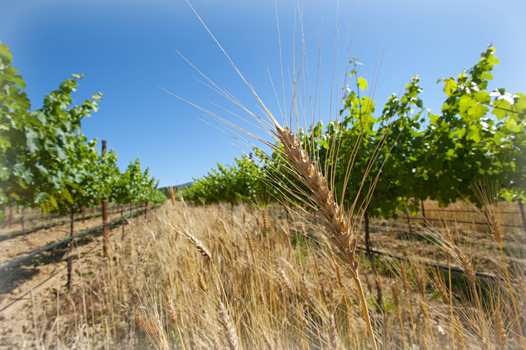 Organic wheat in organic winegrape vineyard.