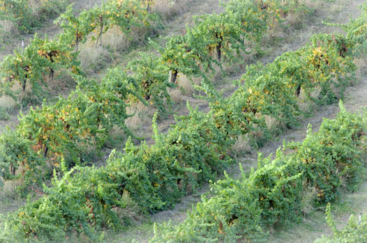 Organic Gewurztraminer wine vineyard