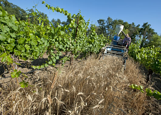 Combine harvesting wheat in wine grape vineyard.