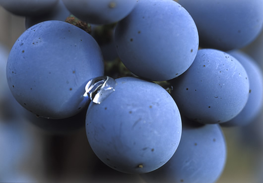 Closeup of Biodynamic grapes