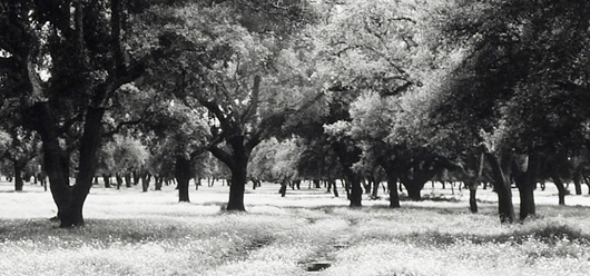 Grove of cork trees.