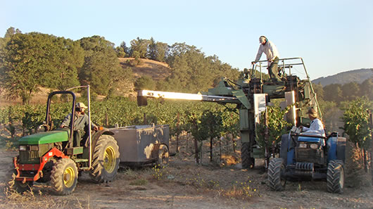 Harvesting organic grapes.