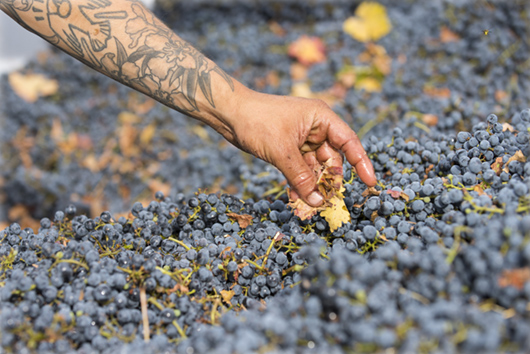 Harvesting organic cabernet wine grapes.