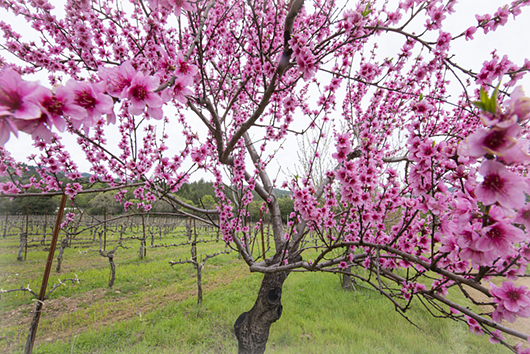 Peach tree in blossom at Frey Vineyards