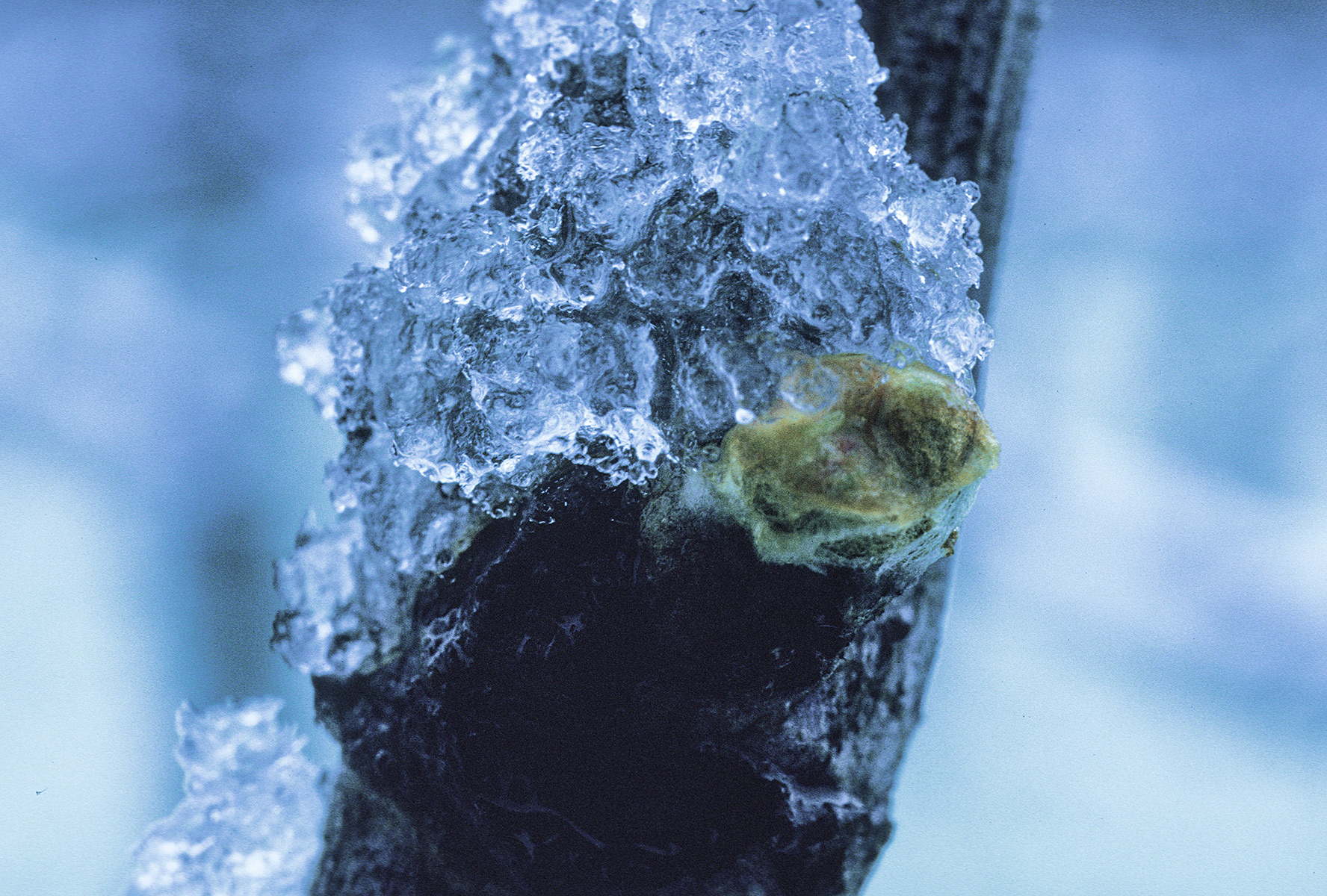 Frost on grape bud