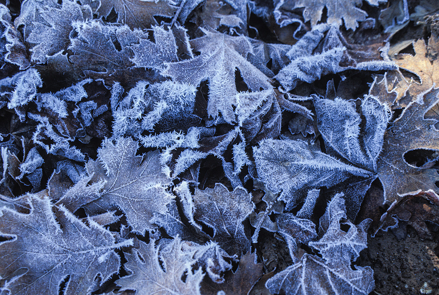 Frosty grape leaves on the ground