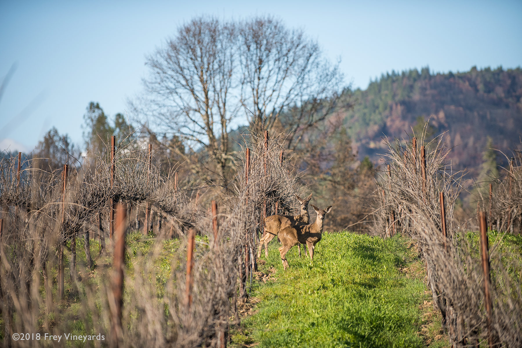 Deer at Frey Vineyards