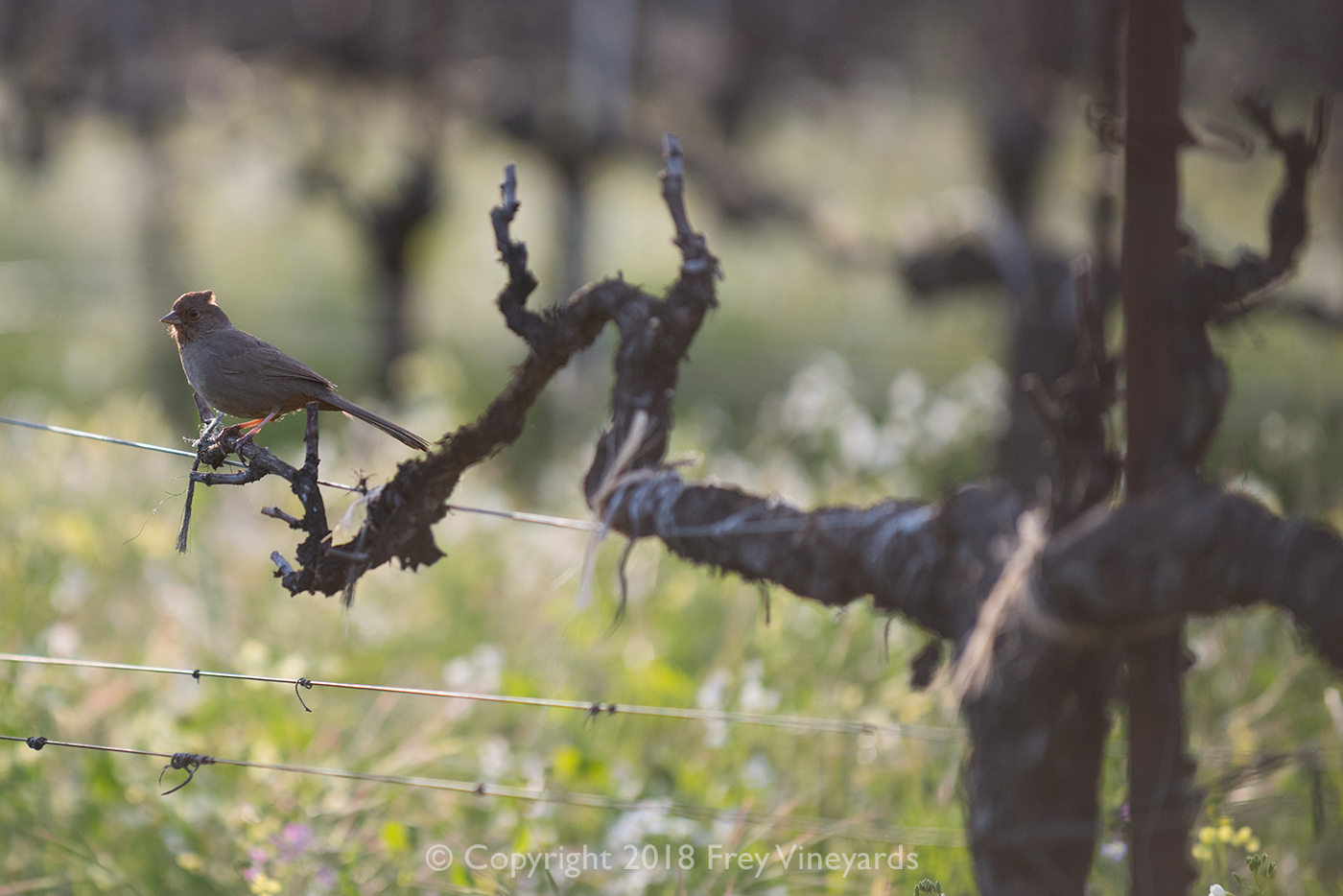 Bird in the vineyard