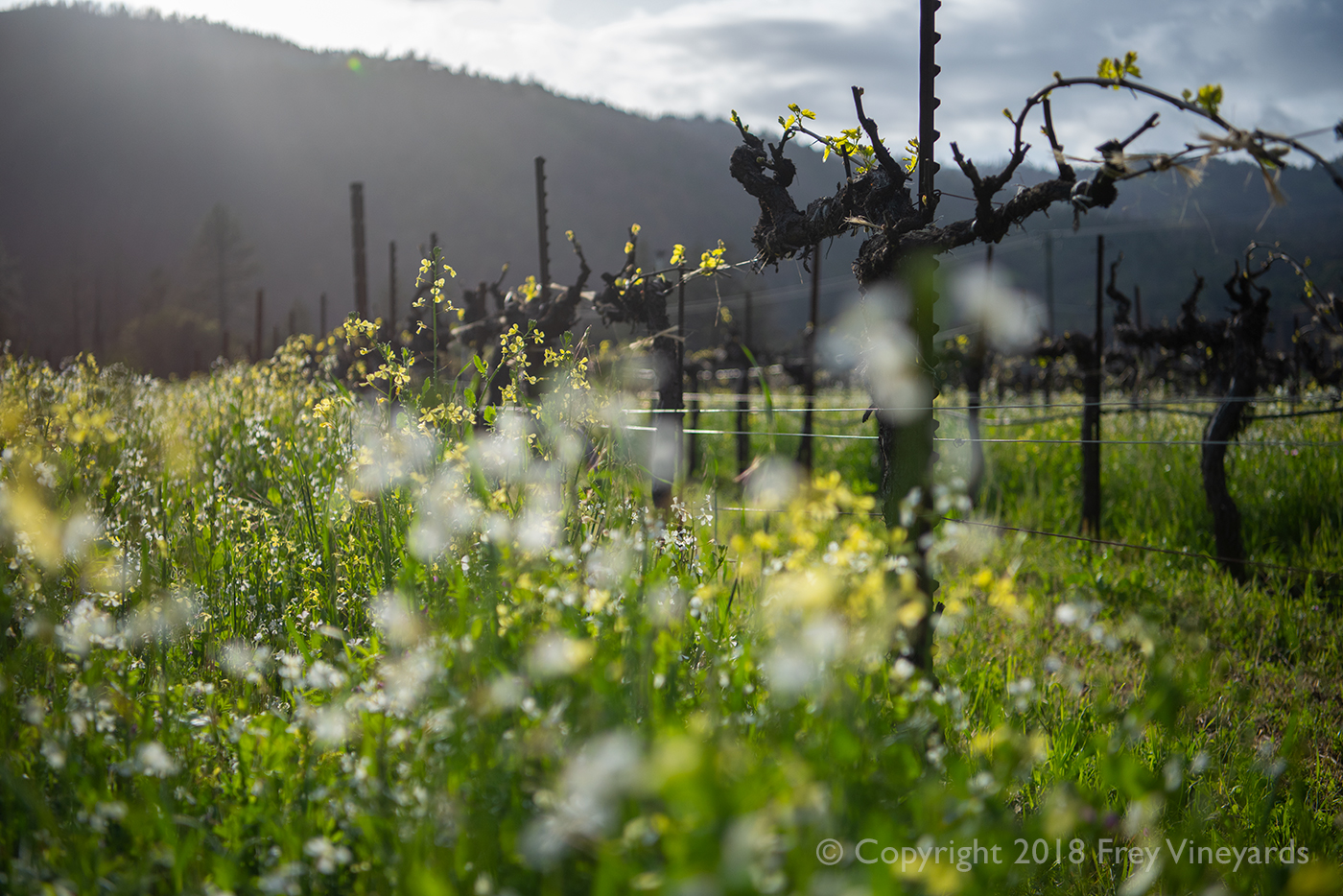Cover crop in the vineyard