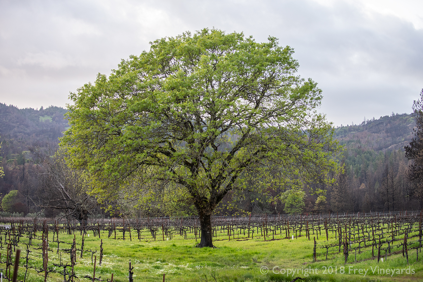 Tree in Frey organic vineyard