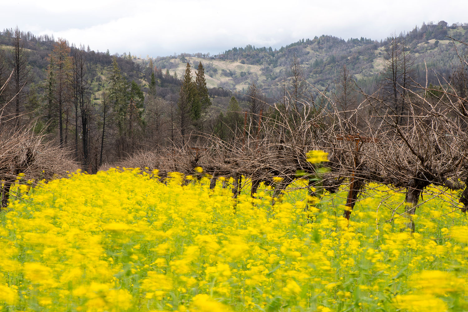 Mustard blowing in the wind in frey organic cabernet vineyard.