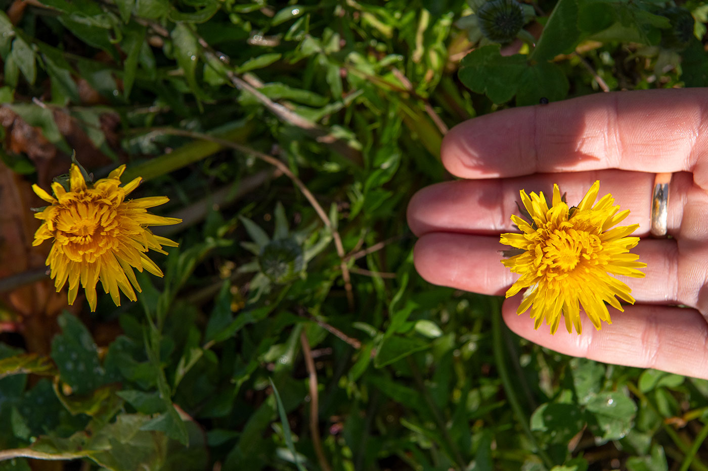 Dandelion flower held between the fingers.
