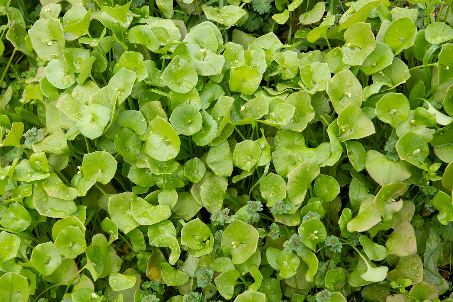 A tasty patch of bedewed miner's lettuce, growing wild.