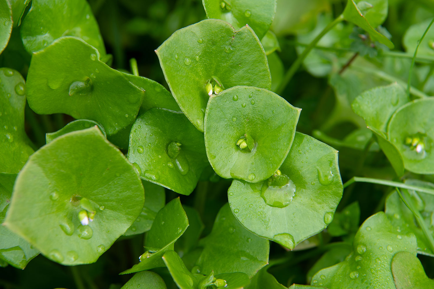Close-up of savory wild miner's lettuce with morning dewdrops.