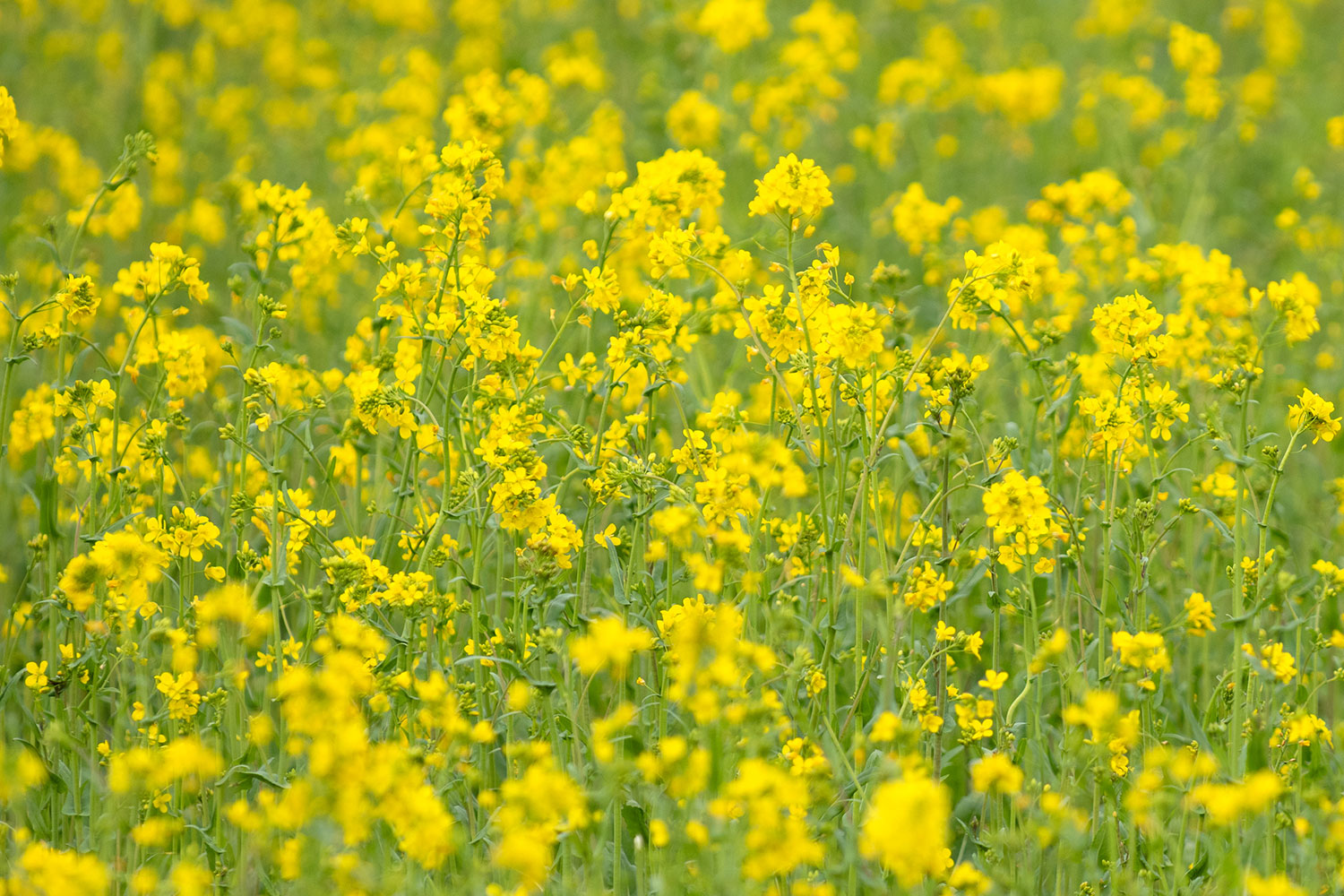 Wild patch of mustard blowing in the wind.