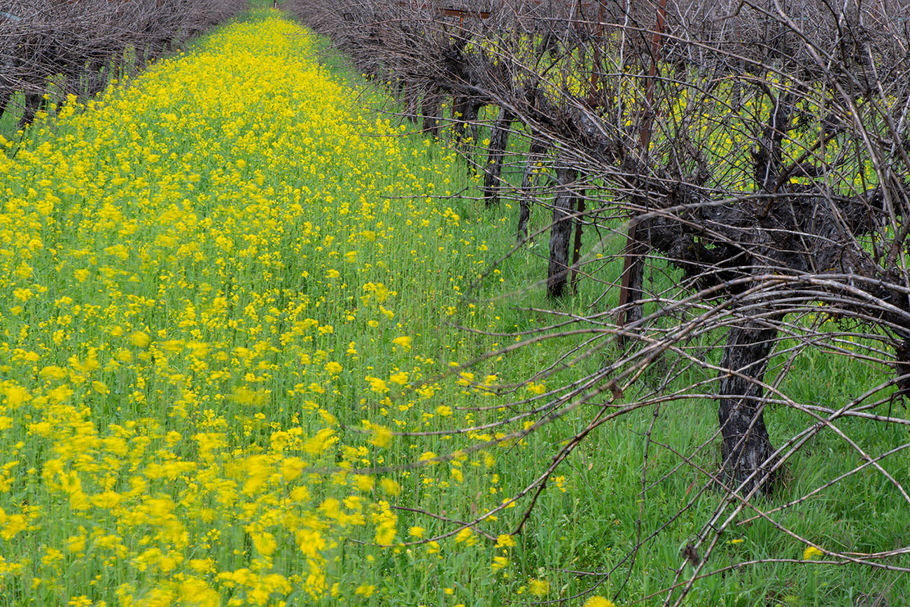 Mustard growing between Frey biodynamic cabernet vineyard rows.