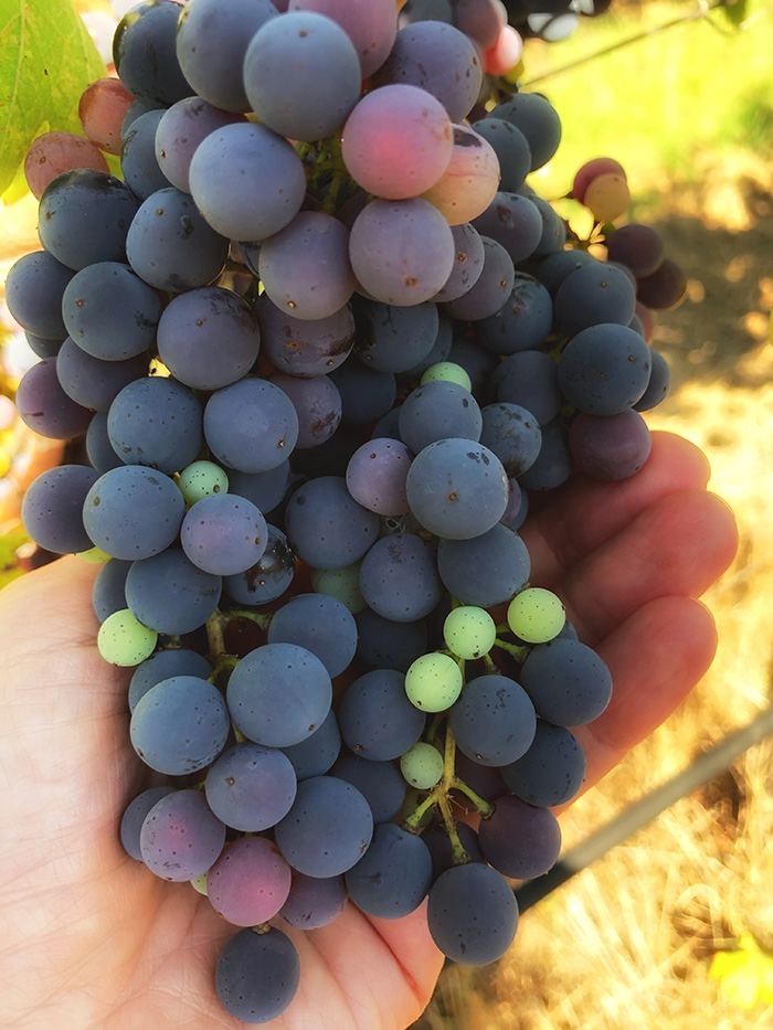 Cluster of Sangiovese berries