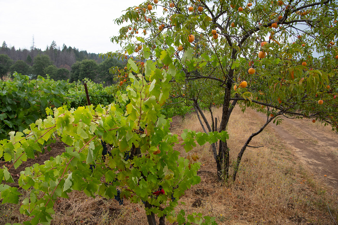 Peach tree in the vineyard