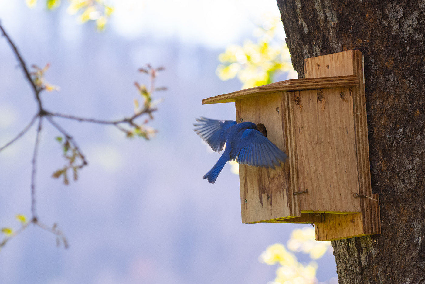 Bluebird entering its birdhouse