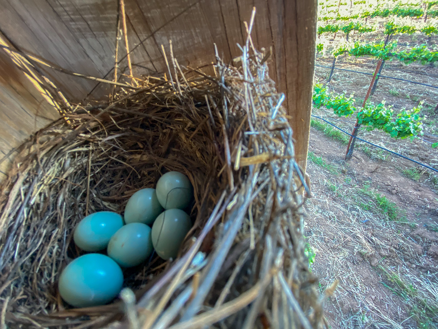 A clutch of Bluebird eggs