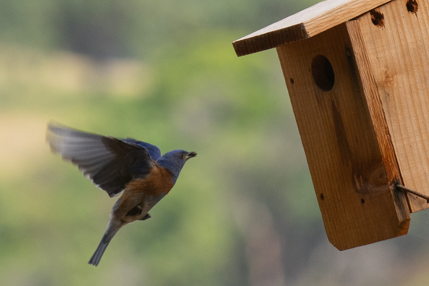 Bluebird delivering insect snack his babies.