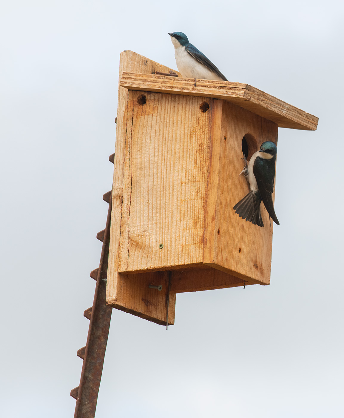 Tree swallow pair on birdhouse