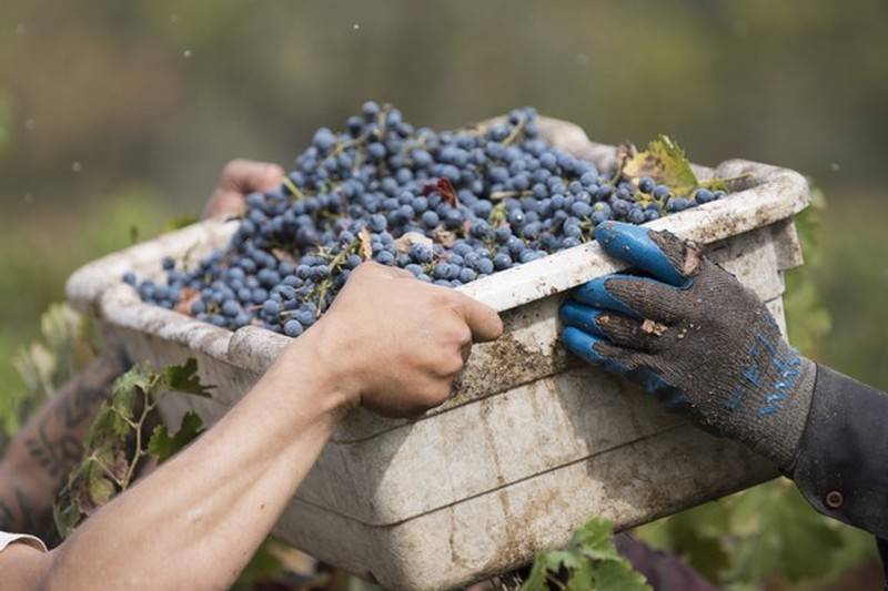 Handing off grape bucket from harvest