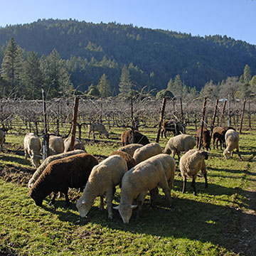 Sheeps eating grass in vineyard