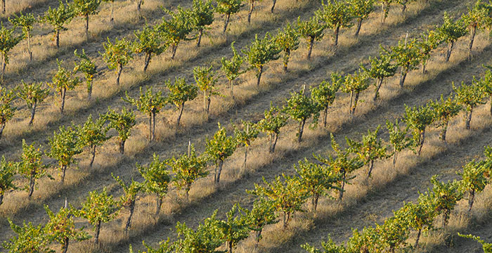Grape vines in the field