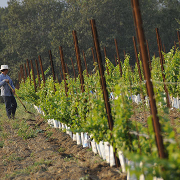 Worker in vineyard